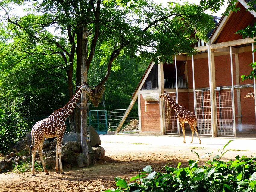 Ein richtig großes Gelände für die Giraffen im Tiergarten Nürnberg
