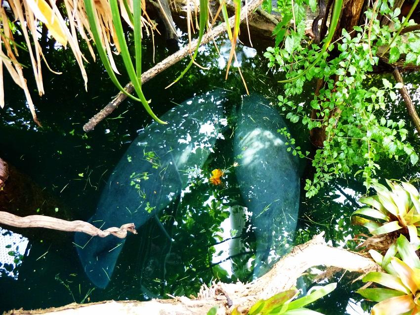 Das Manatihaus im Tiergarten Nürnberg. Die Seekühe haben uns alle fasziniert.